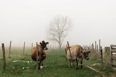 Mucche nella campagna durante il giorno nebbioso Fotografie Stock