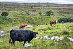 Mucche nella campagna irlandese fotografie stock libere da diritti