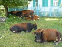 Mucche nella città Fotografia Stock Libera da Diritti