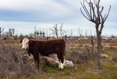 Mucche nella città sommersa di Epecuen Bestiame nella città fantasma Alberi asciutti nella città rovinata fotografia stock