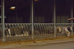 Mucche nella loro stalla Immagine Stock Libera da Diritti