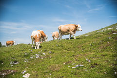 Mucche nella montagna Immagini Stock Libere da Diritti