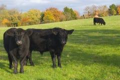 Mucche nella regolazione rurale Fotografie Stock