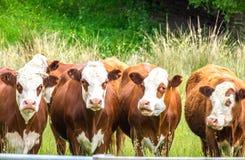 Mucche nella scena rurale in azienda agricola Fotografia Stock Libera da Diritti