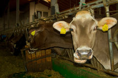 Mucche nella stalla Immagini Stock Libere da Diritti