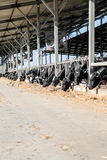 Mucche nella stalla immagini stock