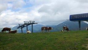 Mucche nella stazione sciistica archivi video