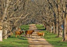 Mucche nella strada Fotografia Stock