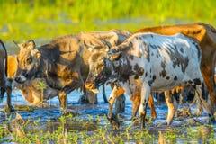 Mucche nelle acque del delta di Danubio, Fotografie Stock Libere da Diritti