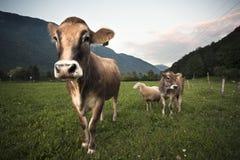 Mucche nelle alpi Immagine Stock