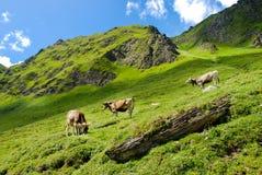 Mucche nelle alpi Immagini Stock Libere da Diritti