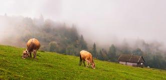 Mucche nelle alpi Fotografia Stock Libera da Diritti