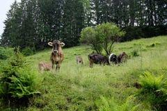 Mucche nelle alpi, Germania Fotografia Stock
