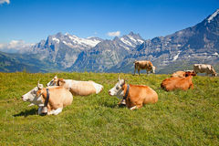 Mucche nelle alpi svizzere Fotografia Stock