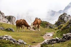 Mucche nelle dolomia italiane vedute sul passo Raiser, Italia della traccia di escursione fotografia stock libera da diritti