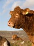 Mucche nelle montagne Fotografia Stock Libera da Diritti