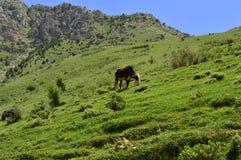Mucche nelle montagne Fotografia Stock