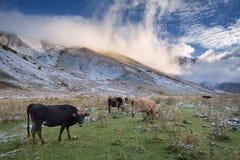 Mucche nelle montagne Immagini Stock Libere da Diritti