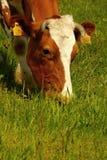 Mucche nelle montagne Fotografie Stock Libere da Diritti