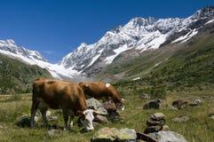 Mucche nelle montagne della Svizzera Fotografia Stock Libera da Diritti