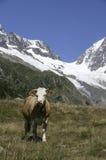 Mucche nelle montagne della Svizzera Immagine Stock Libera da Diritti