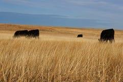 Mucche nere Fotografie Stock Libere da Diritti