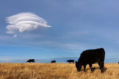 Mucche nere Fotografia Stock