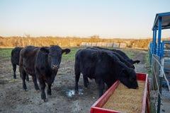 Mucche nere che si alimentano l'alimentazione asciutta di inverno Immagine Stock Libera da Diritti