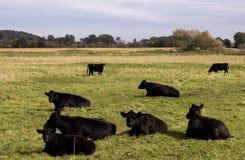 Mucche nere di angus Fotografie Stock Libere da Diritti