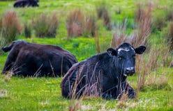 Mucche nere nel campo fotografia stock