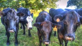 Mucche nere su un'azienda agricola fotografia stock