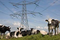 Mucche olandesi Immagini Stock