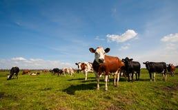 Mucche olandesi immagine stock libera da diritti