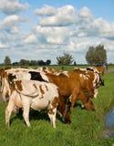 Mucche olandesi Fotografia Stock Libera da Diritti