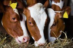 Mucche olandesi immagine stock