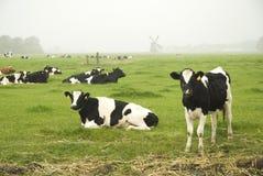 Mucche olandesi in autunno fotografia stock