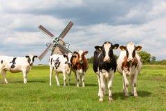 5 mucche olandesi davanti ad un mulino a vento storico immagini stock libere da diritti