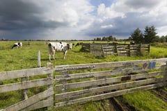 Mucche olandesi nel prato Fotografia Stock