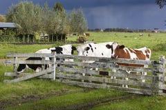 Mucche olandesi nel prato Immagine Stock
