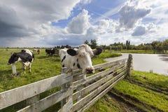 Mucche olandesi nel prato Fotografia Stock Libera da Diritti