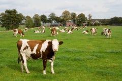 Mucche olandesi in un campo del prato fotografie stock