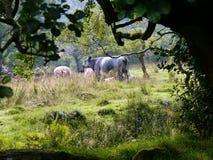 Mucche osservate dalla copertura densa dell'albero Fotografie Stock