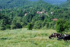 Mucche in paesino di montagna Immagini Stock