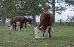 Mucche in pascolo immagini stock