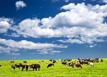Mucche in pascolo fotografia stock libera da diritti