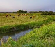 Mucche in pascolo fotografie stock