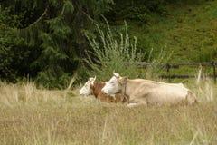 Mucche in pascolo, la Transilvania, Romania fotografia stock libera da diritti