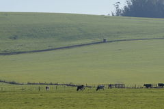 Mucche in pascolo pacifico fotografia stock libera da diritti