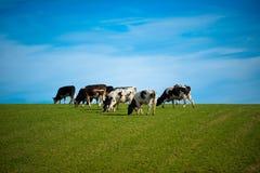Mucche in pascolo verde Fotografia Stock