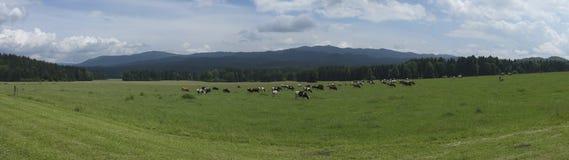 Mucche in pascolo verde Immagine Stock